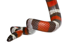 Pueblan milk snake or Campbell's milk snake. Lampropeltis triangulum campbelli, slithering against white background Royalty Free Stock Photos