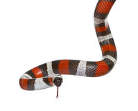 Pueblan milk snake or Campbell's milk snake. Lampropeltis triangulum campbelli, in front of white background Stock Images