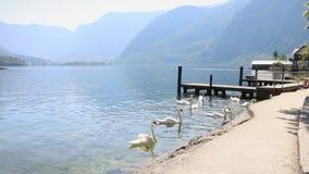 Pueblo austríaco, cisnes que comen en el agua fangosa del lago, orilla opinión del lago, montañas metrajes