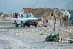 Pueblo beduino del día laborable Niños en la parte posterior de una camioneta pickup, camellos, cabañas del bastón foto de archivo libre de regalías