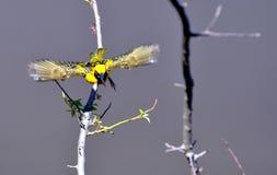 Pueblo masculino Weaver Bird - Eastern Cape, Suráfrica Foto de archivo