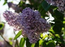 pueda Lilas florecientes Variedad de sorpresas de las variedades con las sombras Foto de archivo
