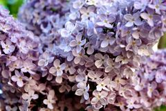 pueda Lilas florecientes Variedad de sorpresas de las variedades con las sombras fotos de archivo