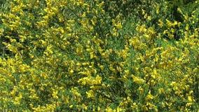 pueda primavera arbusto amarillo del Genista en flor almacen de video