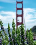 Puente Golden Gate detrás de succulents vibrantes imagen de archivo