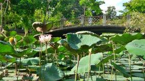 Puente sobre loto floreciente en la charca en el día de verano caliente Imágenes de archivo libres de regalías
