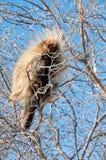 Puerco espín alto en el árbol Foto de archivo