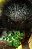 Puerco espín del bebé (dorsatum del Erethizon) con las hojas Imagen de archivo libre de regalías