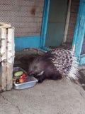 Puerco espín en la foto del parque zoológico de la ondulación permanente de la cena Foto de archivo