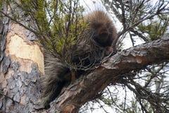 Puerco espín en un árbol Imagen de archivo