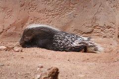 Puerco espín medio dormido en el parque zoológico de Phoenix Foto de archivo