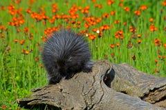 Puerco espín que alimenta en una flor del Hawkweed anaranjado Fotografía de archivo