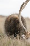 Puerco espín que come la asta de los ciervos en campo Imagen de archivo libre de regalías