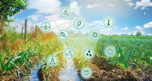 Puerro en el campo Altas tecnologías e innovaciones en agroindustria Inversión en el cultivo Calidad del estudio del suelo y de l fotos de archivo libres de regalías