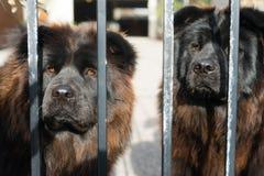 Puerta del metal de Chow Chow Dogs Purebred Dog Breed imagenes de archivo