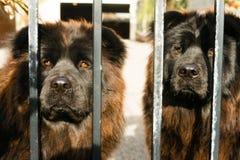 Puerta del metal de Chow Chow Dogs Purebred Dog Breed imágenes de archivo libres de regalías
