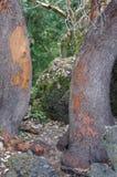 Puerta natural hecha por los troncos de árbol del arbutus en la pista de senderismo en el noroeste pacífico Fotos de archivo libres de regalías