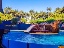 Puerto de la Cruz Tenerife, Spanien; December 2, 2018: Bilden tagna sjölejon visar i Loro Parque Sjölejon som hoppar i pölen royaltyfri bild