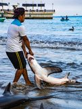 Puerto Lopez, Ecuador / Aug 19, 2016: Fisherman drags a dead shark onto the beach for processing. In Puerto Lopez, Ecuador royalty free stock images