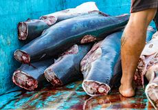 Shark bodies piled in truck, prepared to take to processing plan. Puerto Lopez, Ecuador - Aug 19, 2016: : Shark bodies piled in truck, prepared to take to royalty free stock images