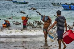 Puerto Lopez, Ecuador - September 12, 2018 - man carried bin of fresh fish from boat to waiting ice truck wholesale. Puerto Lopez, Ecuador - September 12, 2018 royalty free stock photos