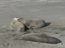 Puerto Madryn - Dichtungs-Elefant stockfoto