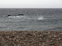 Puerto Madryn - plage de Doradillo - baleine droite austral photos libres de droits