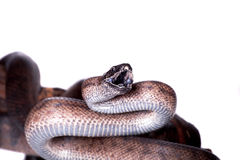 Puerto Rican boa on white backgorund Stock Photography