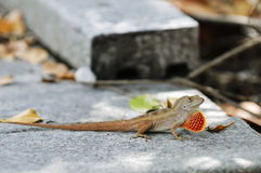 Puerto Rican Crested Anole Stock Photo