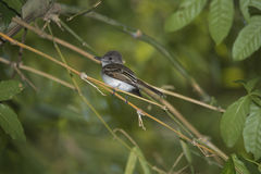 Puerto Rican Flycatcher Royalty Free Stock Image