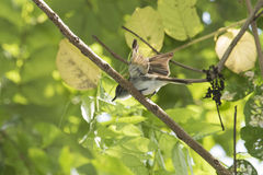 Puerto Rican Flycatcher Royalty Free Stock Images