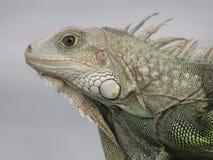 Puerto Rican Iguana stock photo
