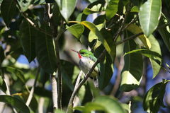 Puerto Rican Tody Royalty Free Stock Photos