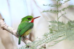 Puerto Rican tody. Perch Puerto Rican Tody, Bermeja Mountains, Cabo Rojo, Puerto Rico royalty free stock images