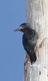 Puerto Rican Woodpecker. Hanging out on wood post Stock Image