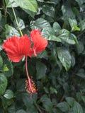 "Red ""Amapola"". Puerto Rico native flower royalty free stock image"