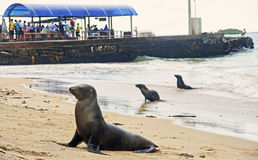 PUERTO VILLAMIL, ECUADOR - NOVEMBER 22, 2015: Sea lions in the h Stock Image