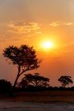 Puesta del sol africana con el árbol en frente Fotografía de archivo libre de regalías