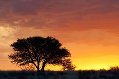 Puesta del sol africana con el árbol silueteado Foto de archivo