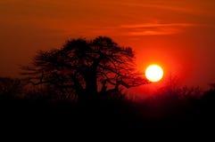 Puesta del sol africana del árbol del baobab Fotografía de archivo libre de regalías
