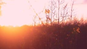 Puesta del sol agradable con la opinión sobre la flor roja del amarillo del cielo metrajes