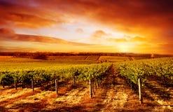 Puesta del sol asombrosa del viñedo Foto de archivo