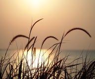 Puesta del sol, campo de flor de la hierba en naturaleza con el fondo de la puesta del sol Fotografía de archivo libre de regalías