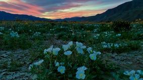 Puesta del sol colorida del wildflower del desierto foto de archivo libre de regalías