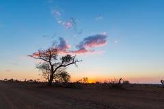 Puesta del sol colorida en el arbusto africano Silueta de los árboles del acacia en contraluz Parque nacional de Kruger, destino  Foto de archivo libre de regalías