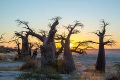 Puesta del sol con el boabab africano, isla de Kubu, Botswana Imágenes de archivo libres de regalías
