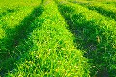 Puesta del sol con el fondo natural de la falta de definición de la hierba verde del paisaje fotos de archivo libres de regalías