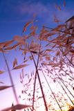 Puesta del sol con la hierba amarilla en Western Cape, Suráfrica fotografía de archivo