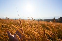 Puesta del sol con las hierbas que siguen el viento Imágenes de archivo libres de regalías