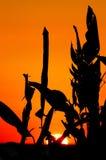 Puesta del sol con las plantas Imágenes de archivo libres de regalías